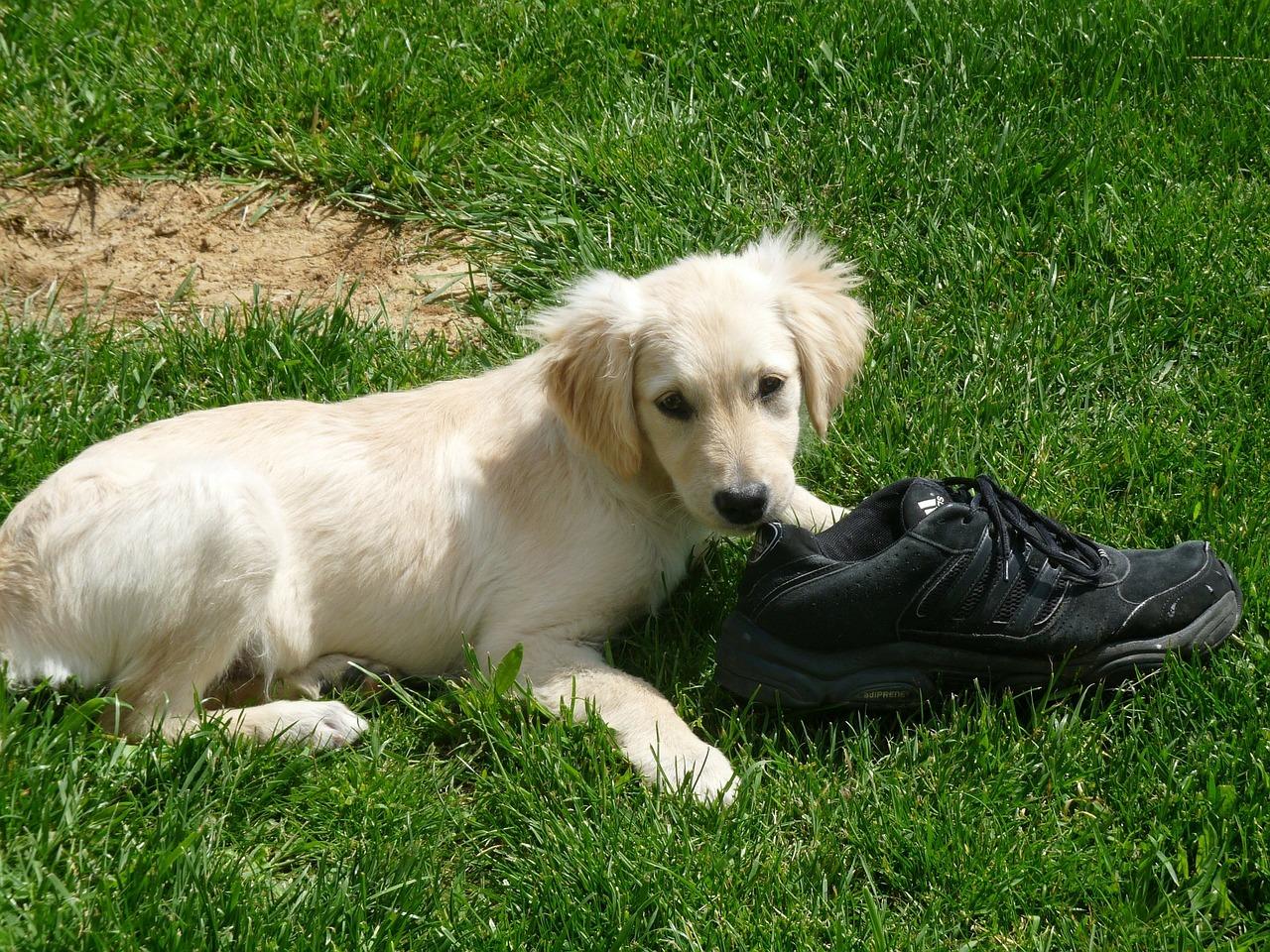 Welpe zerkaut Gegenstände wie Tapete, Sockelleisten, Schuhe