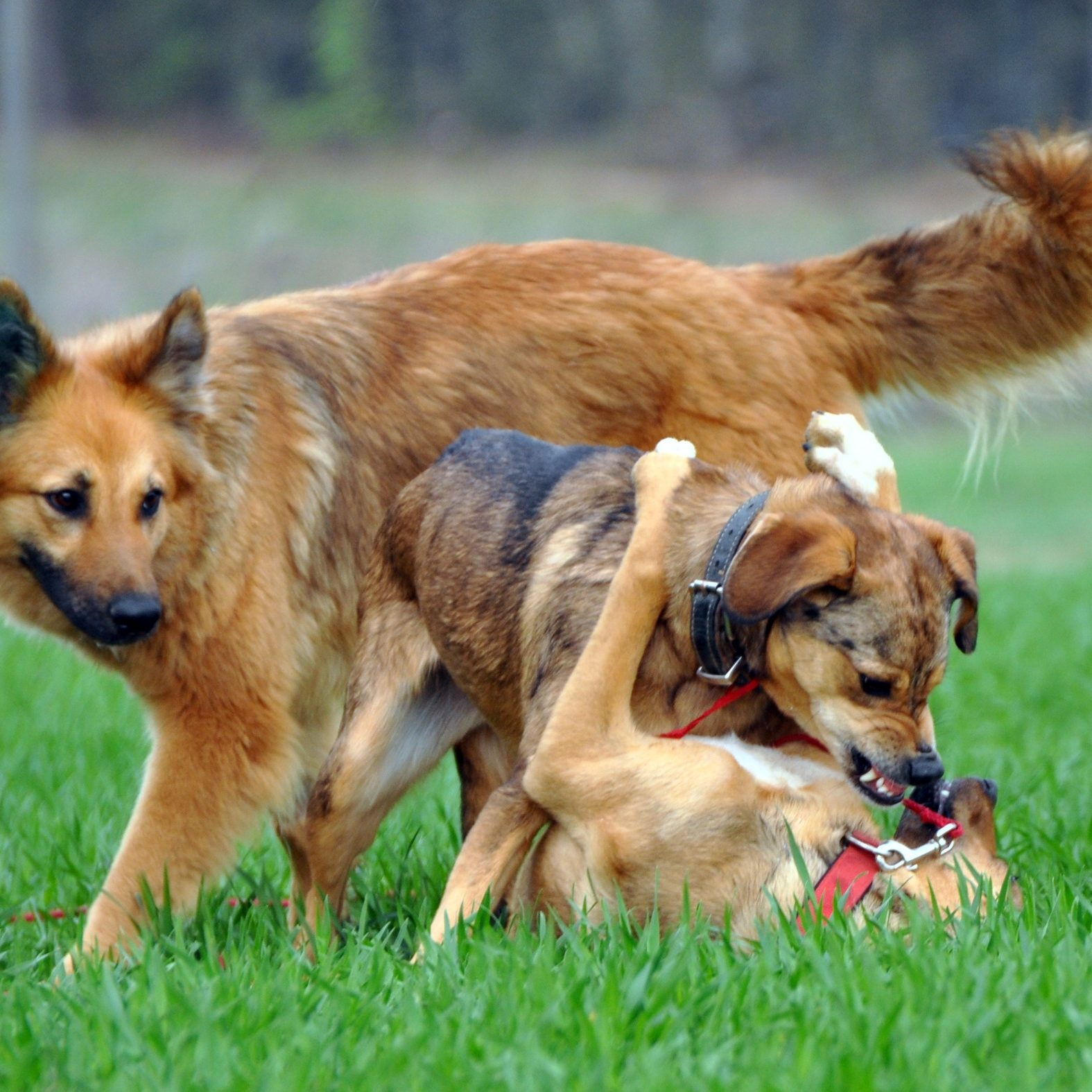 dogs-61683